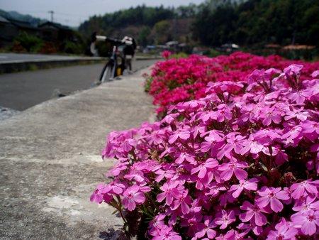 芝桜の季節なんですね@秩父吉田