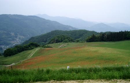 高原牧場のポピーは5分咲き