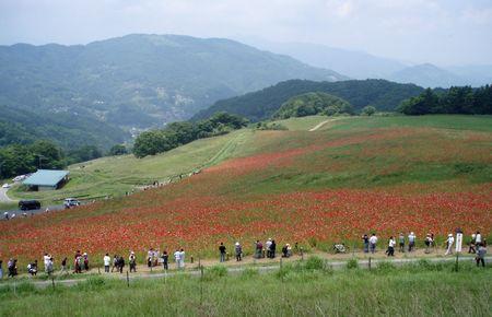 全体はこんな感じで・・・ちょっとムラになってます@秩父高原牧場ポピー畑