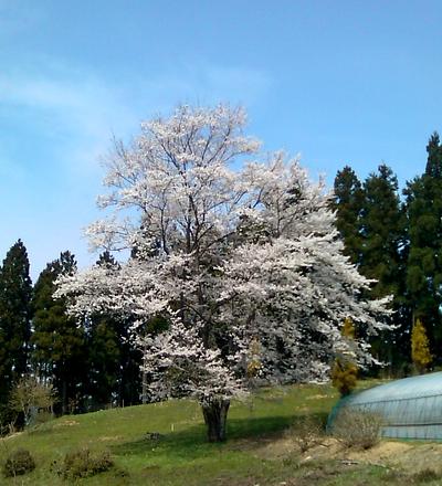 ヌシのようなこのアタリを見守っていそうな桜@神川町阿久原