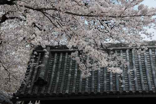 伝法院の桜