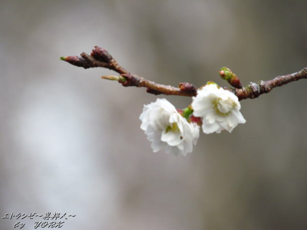 1429子福桜 (こぶくざくら)120122