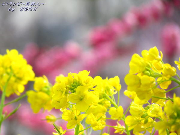 1766紅梅手前の菜の花120325
