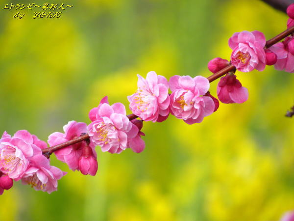 1773菜の花の前の紅梅120325