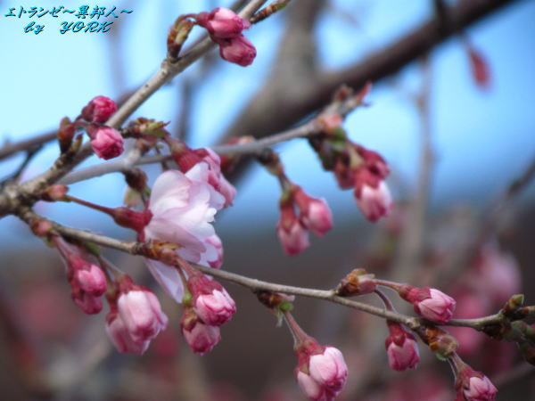 1809早咲き桜でも蕾120331