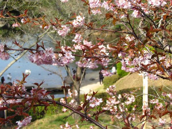 1884早咲きの桜120401