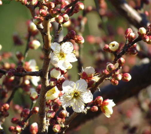 スマホ用 1603 早咲きの白梅960×854