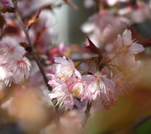 スマホ用 1832 早咲きの桜960×854