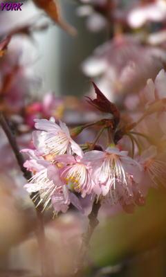 携帯用 1832 早咲きの桜240×400