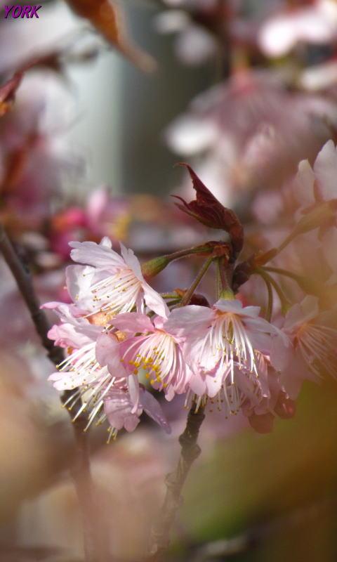 携帯用 1832  早咲きの桜480×800