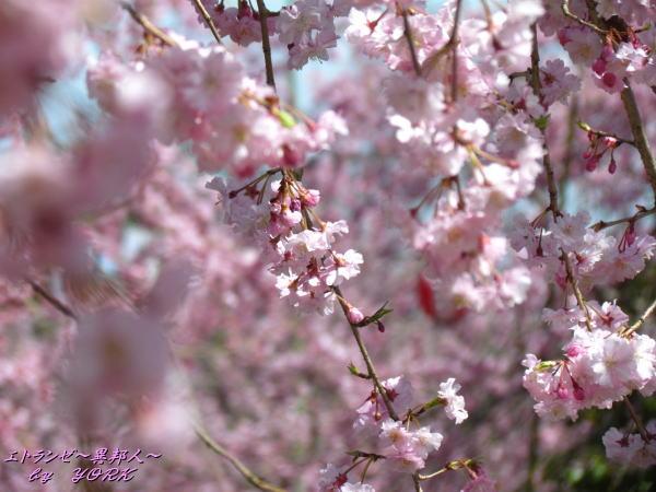 2363枝垂れ桜120415