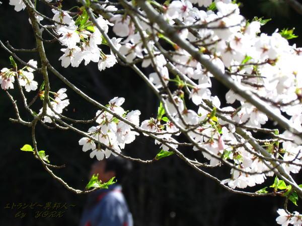 2212桜散り始め120414
