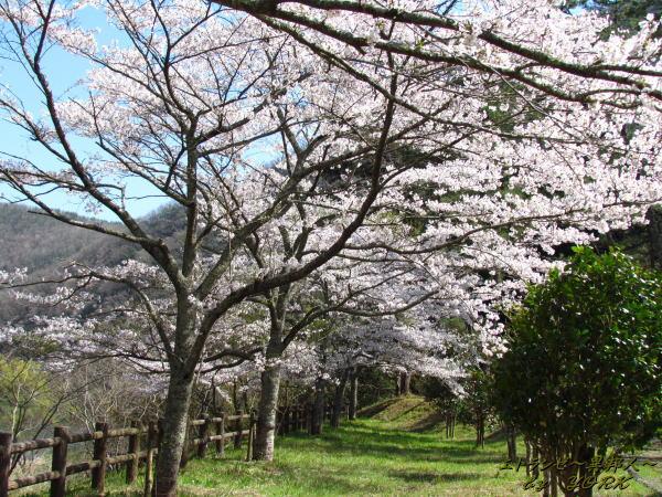 2206桜並木120414