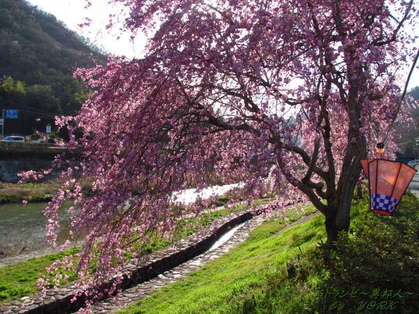 2355枝垂れ桜並木120414