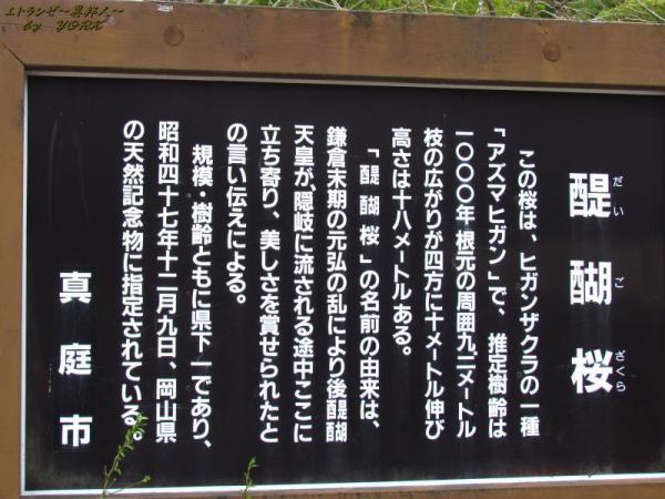 2502醍醐桜の説明版120421