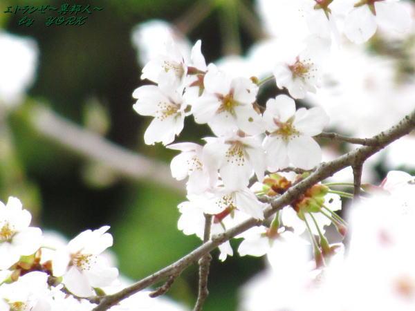 2425桜ちょっと白い120421