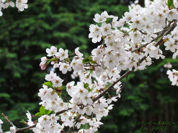 2420桜斜めに120421