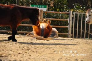 8野間馬_8242