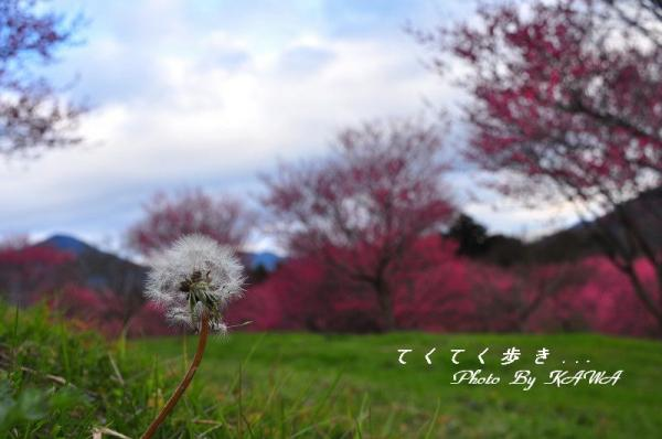 9大洲梅_8879