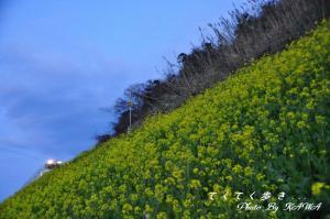 3菜の花_8950