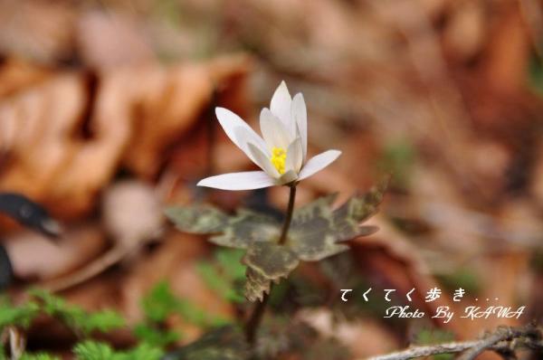 1ユキワリイチゲ_9122