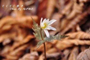 11ユキワリイチゲ_9129