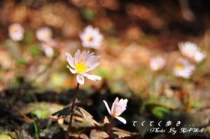 3ユキワリイチゲ_9908