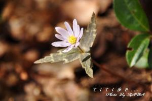 6ユキワリイチゲ_9947