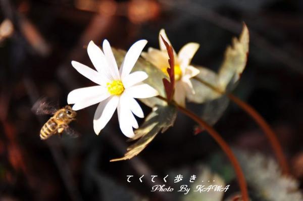 8ユキワリイチゲ_9917