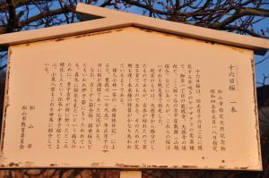 3十六日桜_0018