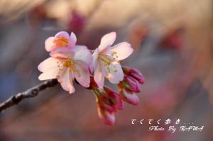 4十六日桜_0009