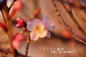 5十六日桜_0015