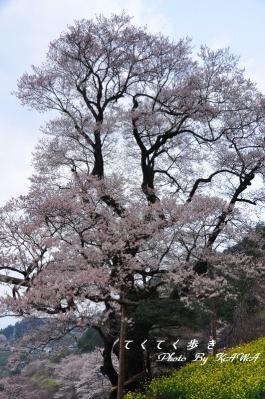 5ひょうたん桜_1983