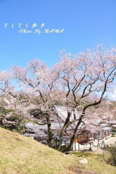 金龍桜10.03.21