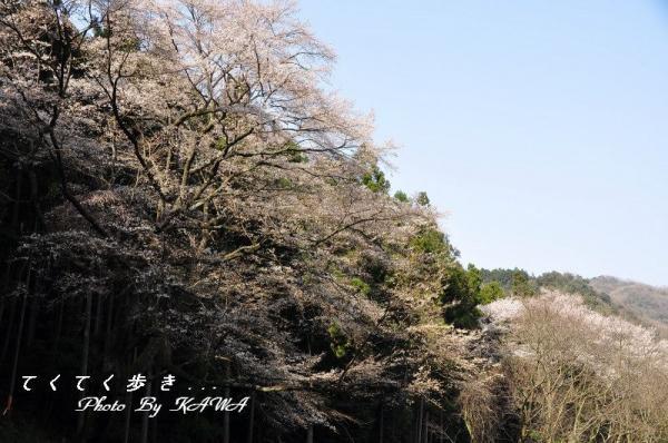 1源太桜_2430