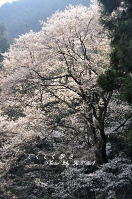 4源太桜1_2464