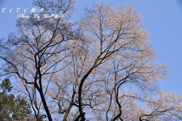 6源太桜2_2454