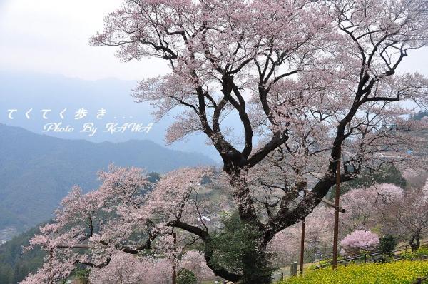 1ひょうたん桜_1995