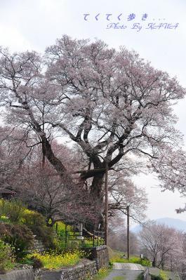 2ひょうたん桜_1944