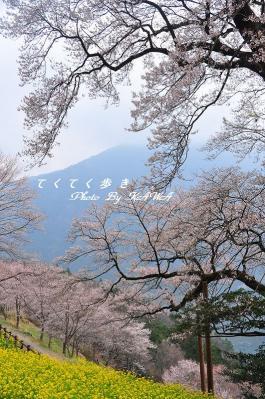 3ひょうたん桜_1992