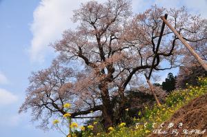 4ひょうたん桜_1954