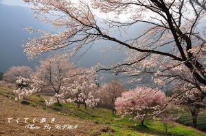5ひょうたん桜_1946