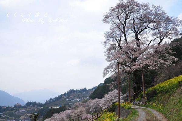 7ひょうたん桜_1974