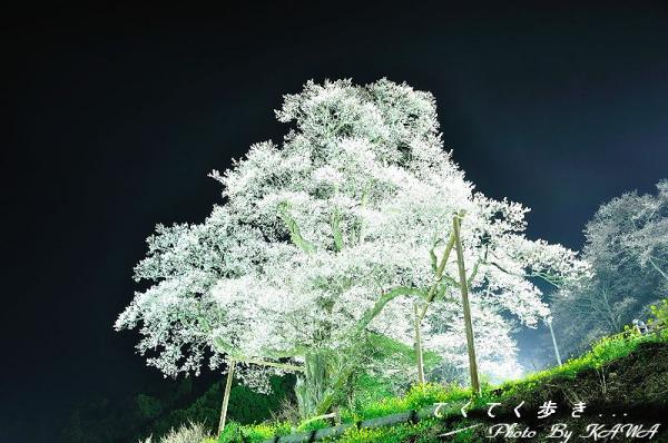 9ひょうたん桜_2049