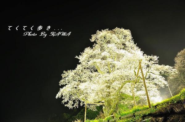 8ひょうたん桜_2059