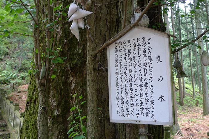 乳の木 青玉神社 兵庫 天戸間見の森