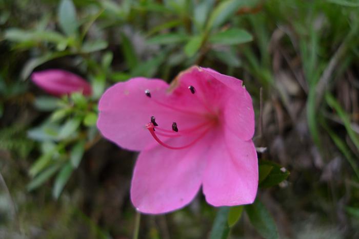 つつじ さつき ピンク 花 ひだ 高山 日之本元極