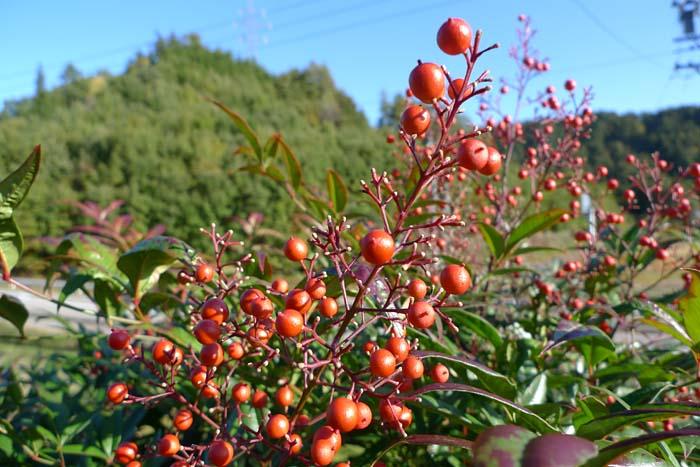 秋の香り ナンテン 南天