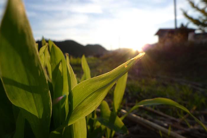 秋の彩り コーン 夕陽 ひだ 高山