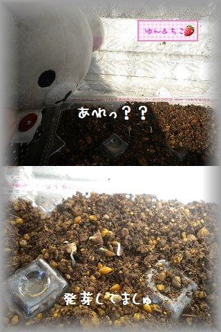 ちこちゃんの観察日記2012★3★謎の野菜の観察-3